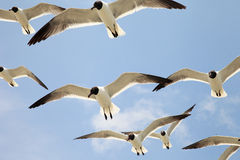 Group of Seagulls Royalty Free Stock Photos