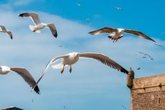 Seagulls in Essaouira Royalty Free Stock Images
