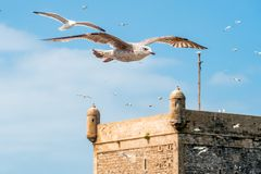 Seagulls in Essaouira Stock Photo