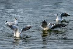 Group of seagulls flying over and landing on water stock image