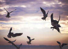 Group of seagulls are flying in sunset time Royalty Free Stock Images