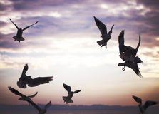 Group of seagulls are flying in sunset time Stock Photos
