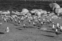 Group of Seagulls. A group of gulls by the ocean side in South Africa Royalty Free Stock Photo