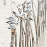 Group of seagulls holding on bamboo Royalty Free Stock Image