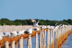 Group of seagulls holding on bamboo Stock Photos