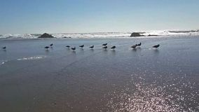 A group of seagulls and incoming tide. The peace and tranquility feeling of viewing a group of seagulls and incoming tide stock video footage