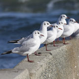 Group of seagulls Royalty Free Stock Image