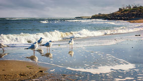 Group of seagulls ower sea. Flock of seagulls wading on a sandy beach, coast of the Black Sea Royalty Free Stock Photo