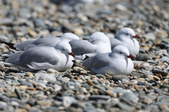 Group of seagulls Royalty Free Stock Photo