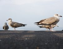 Group of seagulls Stock Images
