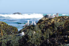 Group of seagulls on the rocky coast. Monterrey Bay. California Stock Photos