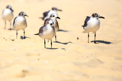 Group of seagulls. On sandy beach somewhere in Mexico Stock Image
