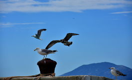 A group of seagulls at sea. royalty free stock images