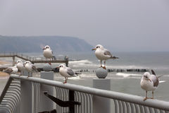 Group of seagulls sits on a parapet. Royalty Free Stock Photography