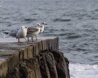 A group of seagulls sitting on the edge of a stone pier Royalty Free Stock Images