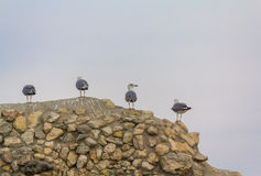 Group of seagulls sitting on the ruins of the ancient city. Crimea Royalty Free Stock Photos