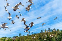 Group of seagulls in the sky, Puerto Montt, Chile. With selective focus stock photography