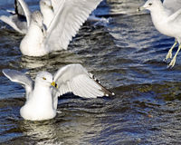 Group of Seagulls swimming and flapping their wings in beautiful blue refreshing waters Royalty Free Stock Photography