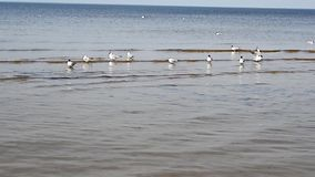 A group of seagulls are swimming near the sea shore in Jurmala and screaming. stock video footage