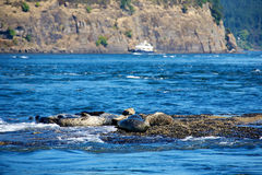 A group of seals Royalty Free Stock Image
