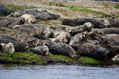 Group of seals Stock Photography