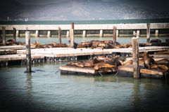 Group of seals fish sun bathing on aplatform Royalty Free Stock Images