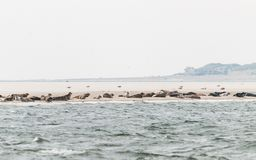 Seals resting on a sandbank in the Waddensea royalty free stock photos