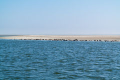 Group of seals resting on sand bank in Waddensea, Netherlands Stock Photos