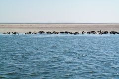 Group of seals resting on sand bank in Waddensea, Netherlands Royalty Free Stock Images