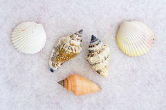 Group of Seashells. Placed on a white background Royalty Free Stock Photography