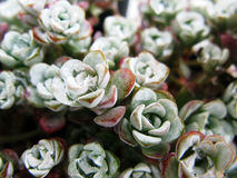 Group of Sedum Royalty Free Stock Photo