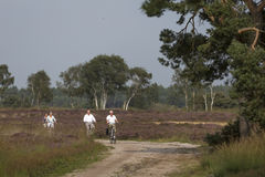 Group of senior bicyclists passing blooming heath Royalty Free Stock Image