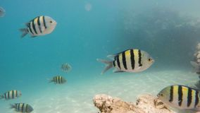 Group of sergeant major damselfish in red sea stock video