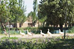 Group of geese doing hiking, Lleida royalty free stock photo