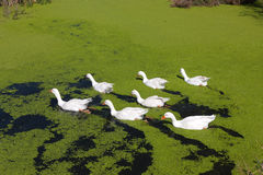 Group of seven geese in the green lake Royalty Free Stock Images