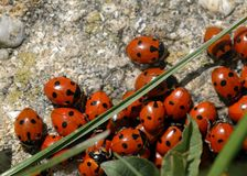 A group of seven-spot ladybirds Coccinella septempunctata on a. Stone, spring Austria Royalty Free Stock Photography