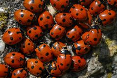 A group of seven-spot ladybirds Coccinella septempunctata on a. Stone, spring Austria Royalty Free Stock Images