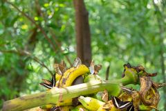 A group of several kinds of butterflies eat bananas Stock Image