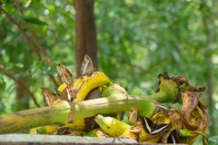 A group of several kinds of butterflies eat bananas Royalty Free Stock Image