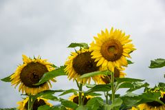 Group of several sunflowers with bees on it Royalty Free Stock Photos
