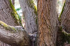The group of several trunks of one tree in the forest. The family group of several trunks of one tree in the forest stock photos