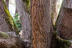 The group of several trunks of one tree in the forest. The family group of several trunks of one tree in the forest stock photography