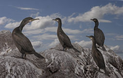 A group of Shags Stock Photos