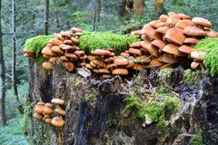 Group of Sheathed Woodtuft mushrooms, side view Royalty Free Stock Photography