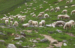 Group of sheep Royalty Free Stock Image