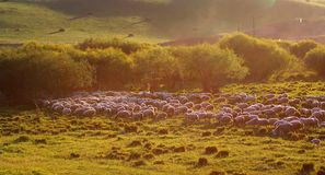 A group of sheep Stock Images