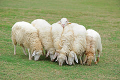 Group of sheep. Eating grass royalty free stock photography
