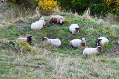 A group of sheep. Resting on a mountain ledge Royalty Free Stock Photos
