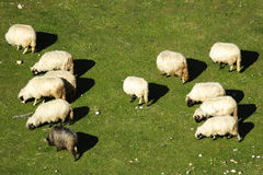A group of sheep Stock Photography