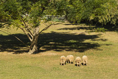 Group of sheep. Grazing in spring meadow Royalty Free Stock Photography